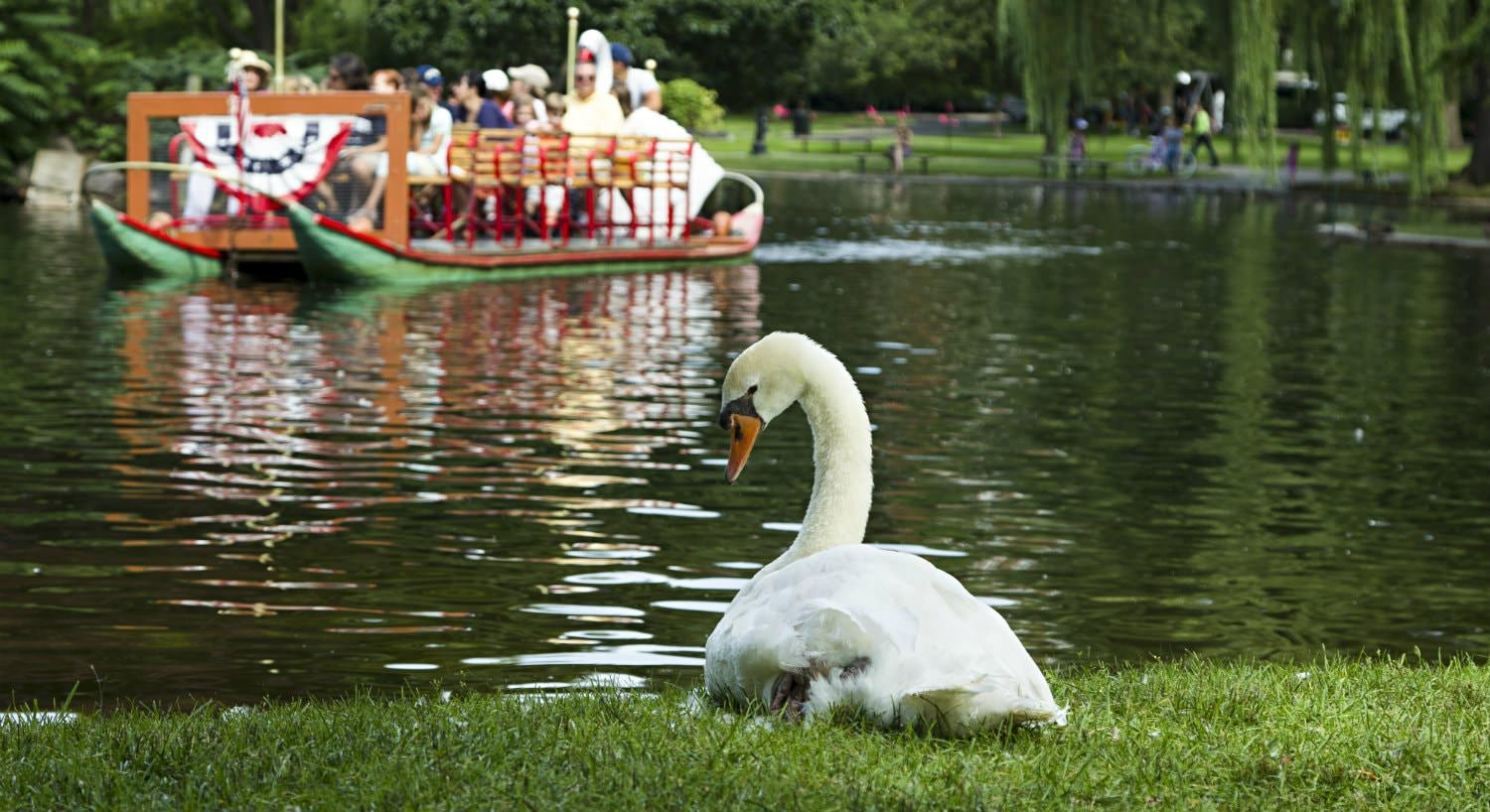 white swan sitting on the grassy bank of a lagoon with a swan boat floating by