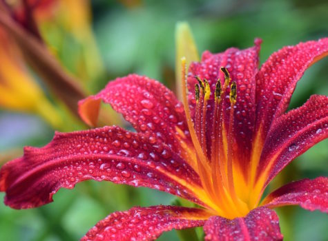 magenta lily with 8 petals and yellow center with water drops all over it