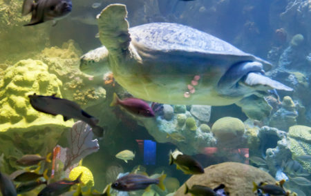 a sea turtle surrounded by colorful blue yellow pink and black fish in water that is blue green