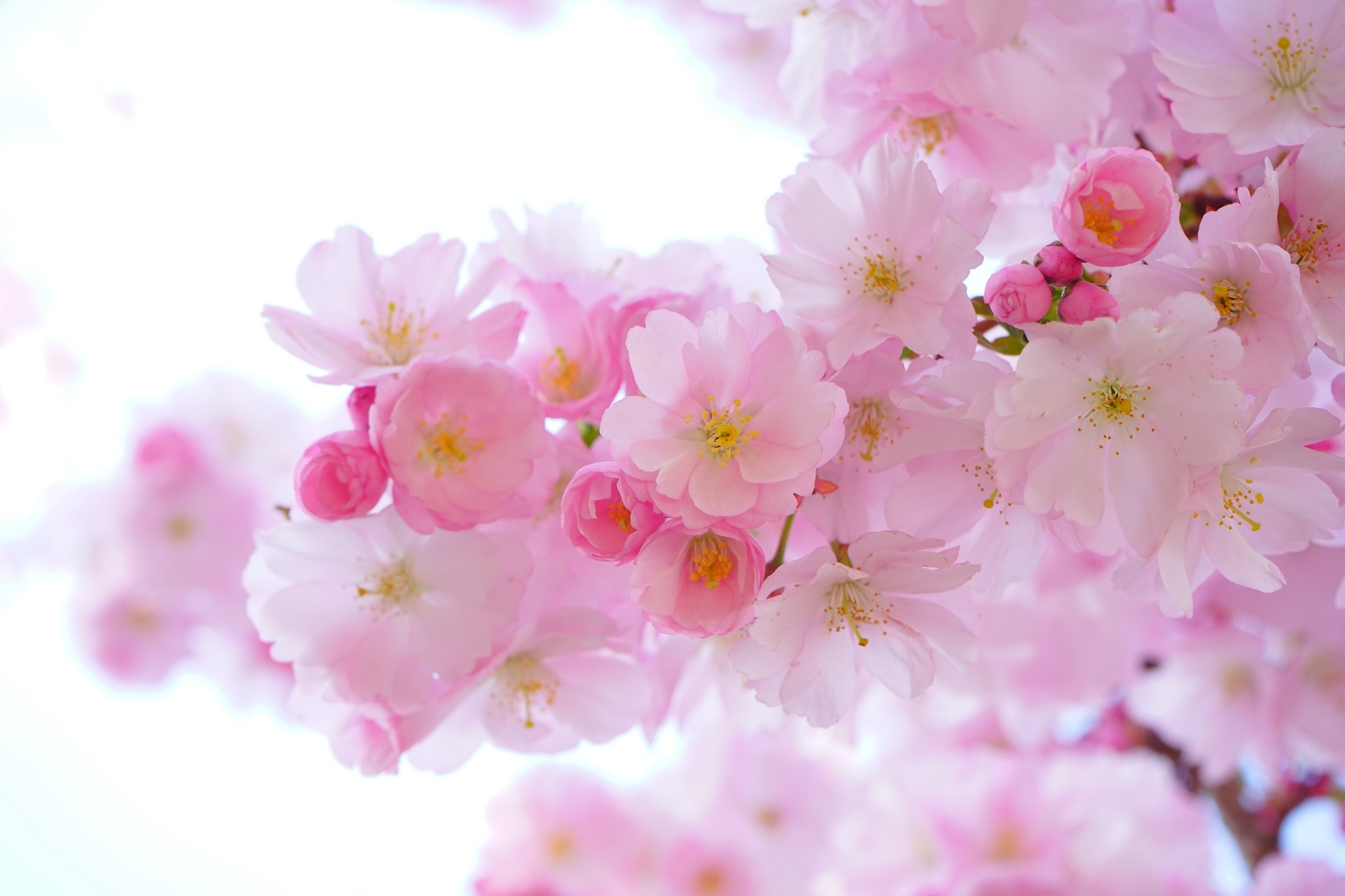 Pink cherry blossoms on a white background