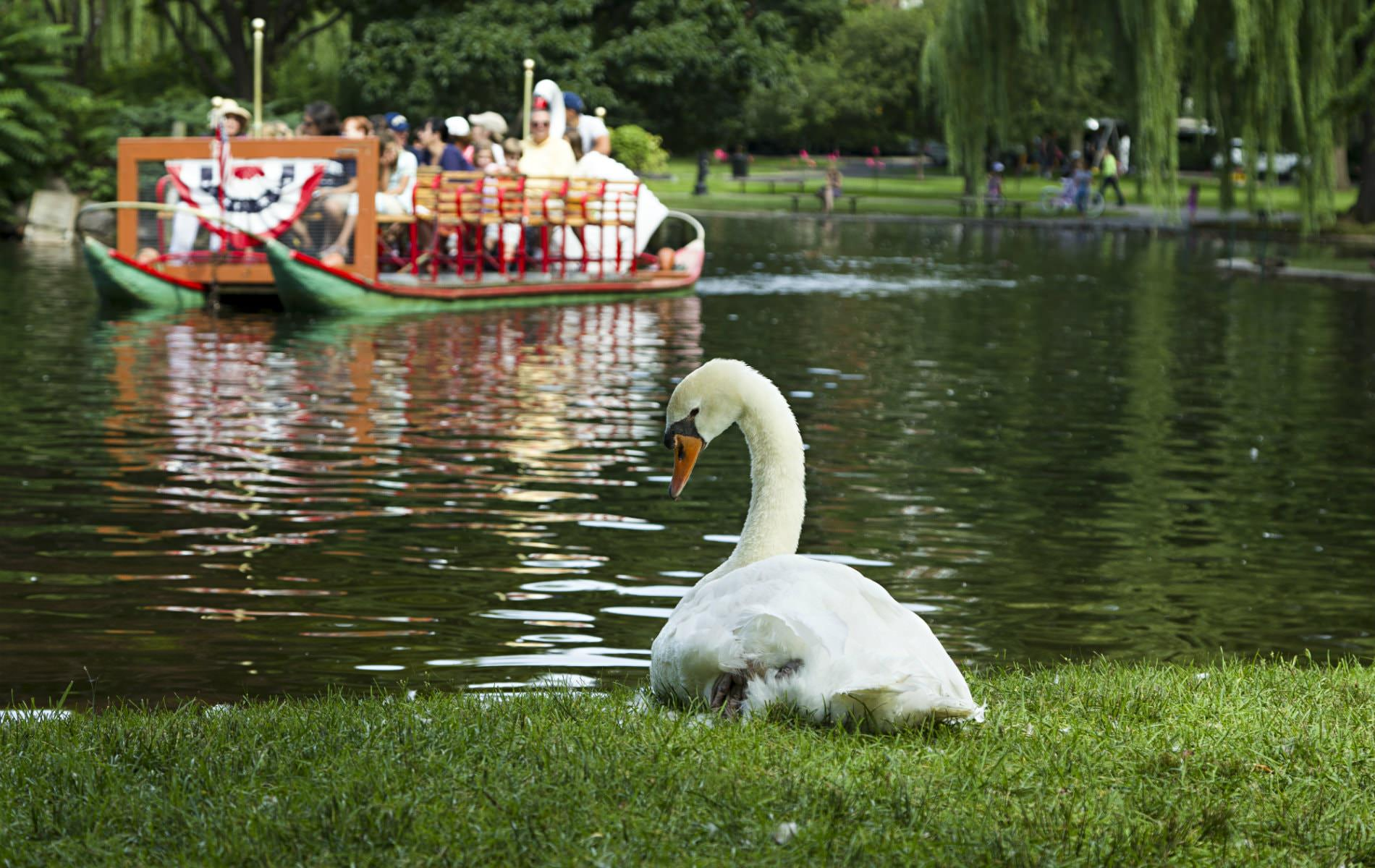 White swan lying on grass near lagoon with a swan boat paddling tourists in the background