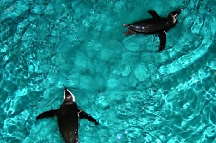 Close-up view of two black and white penguins swimming in rippling turquoise water